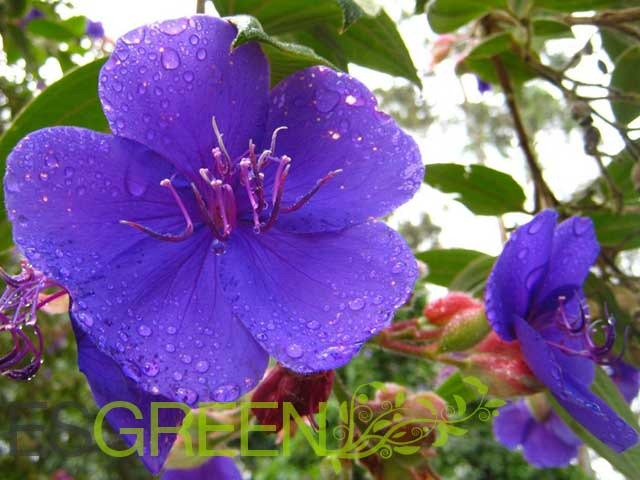 violet flower tea  esgreen, Beautiful flower